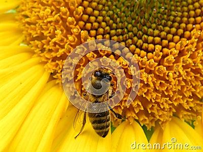 2只蜂向日葵
