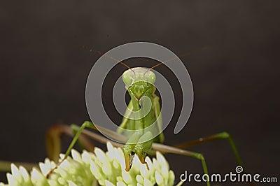 2捕食的螳螂