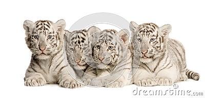 2个崽月老虎白色