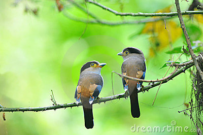 2 bird Broadbill (Silver-breasted)