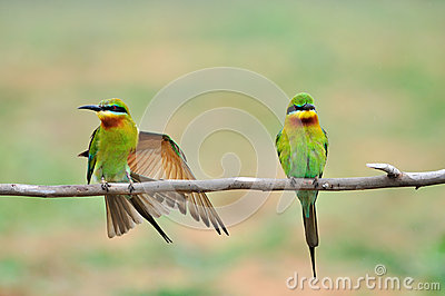 2 Blue-throated Bee-eater bird