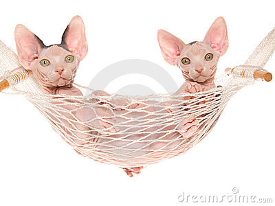 2 Cute hairless Sphynx in white hammock