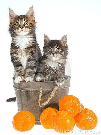 2 Cute Maine Coon kittens in barrel