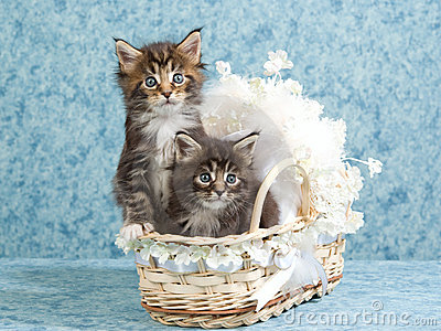 2 Cute Maine Coon kittens in mini baby crib