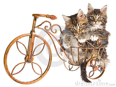 2 Cute Maine Coon kittens on mini bicycle