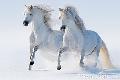 2 galloping snow-white лошади