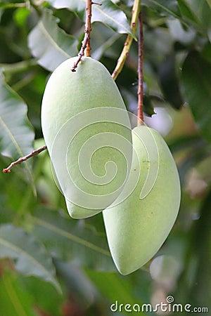 2 Green Mangoes