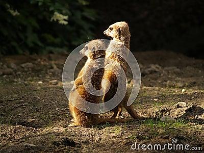 2 meerkat s