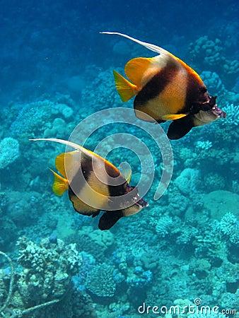Free 2 Pennant Fish Stock Photos - 15809253