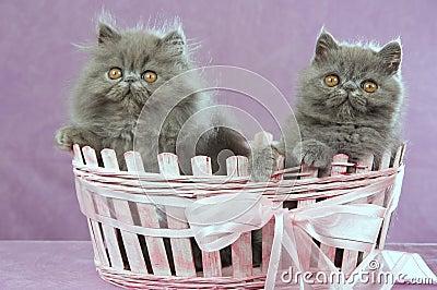2 Persian kittens in pink basket