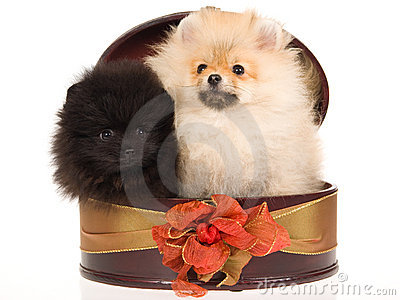2 Pomeranian puppies in round gift box