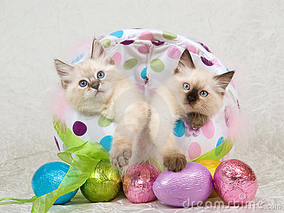 2 Ragdoll kittens in Easter egg