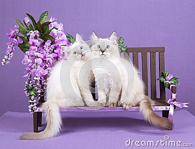 2 Ragdoll kittens on miniature bench