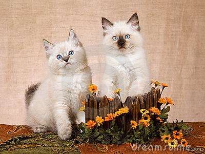 2 Ragdoll kittens in wood box