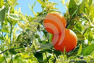 2 ripe oranges at tree