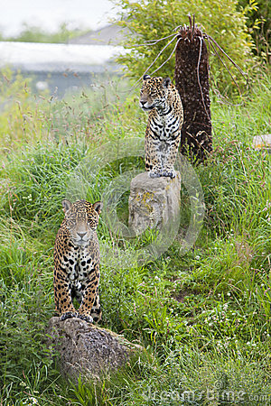 2 watchful Leopards