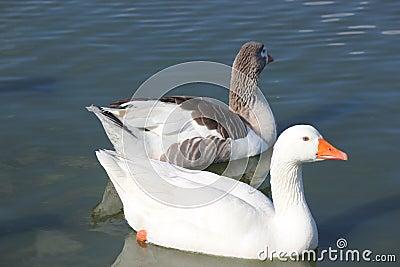 2 White geese