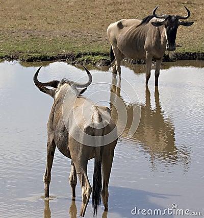 2 wildebeest in masai mara Kenya