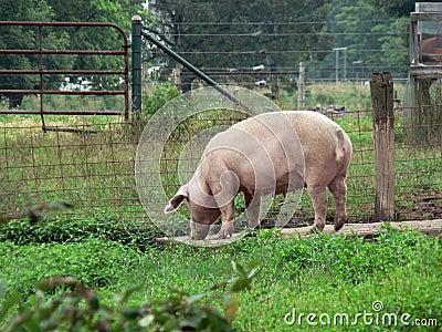 2 świnia
