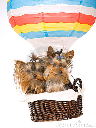 2 Yorkie puppies sitting inside hot air balloon
