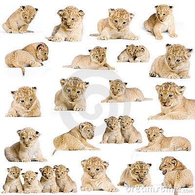 Free 20 Lion Cubs Stock Photo - 2285550