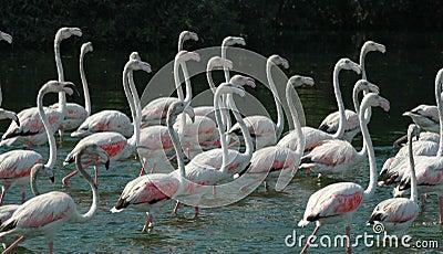 22 Flamingos