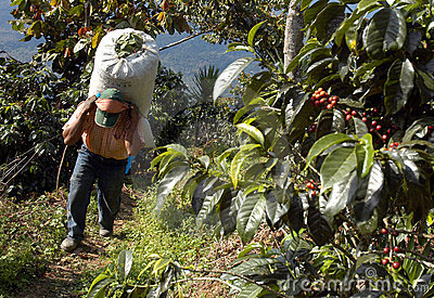 плантация Гватемалы кофе 23