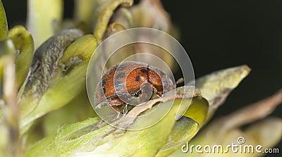 24-spot ladybird