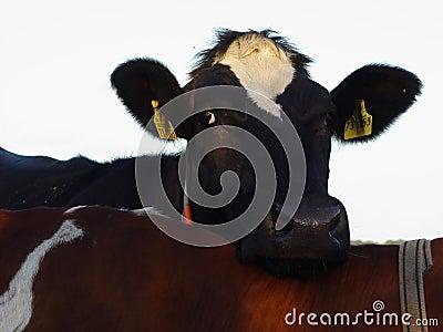 方便的母牛