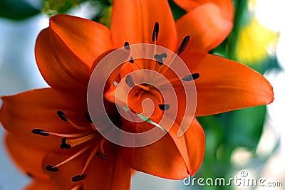 橙色的lillies