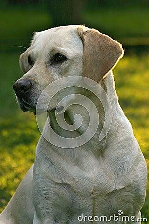 狗拉布拉多猎犬