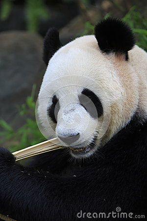 Гигантская панда 3