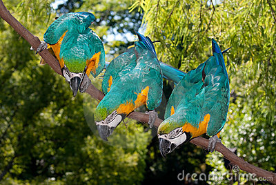 3 Blue-and-yellow Macaw (Ara ararauna)