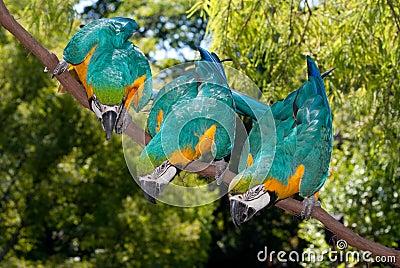 3 Blue-and-yellow Macaw (Ara ararauna)