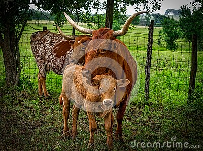 3 Brown Cow On Green Grass Field Free Public Domain Cc0 Image