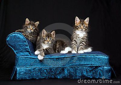 3 Cute Maine Coon kittens on blue chaise