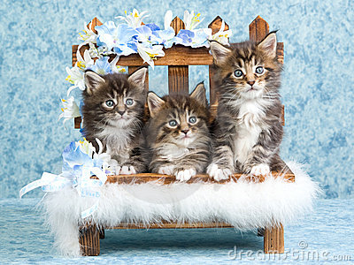 3 Cute Maine Coon kittens on mini bench