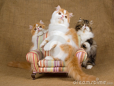 3 Cute red and white Persian kittens
