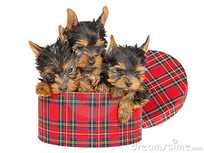 3 cute Yorkie pups sitting inside tartan gift box