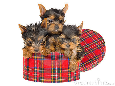 3 cute Yorkies inside round tartan box