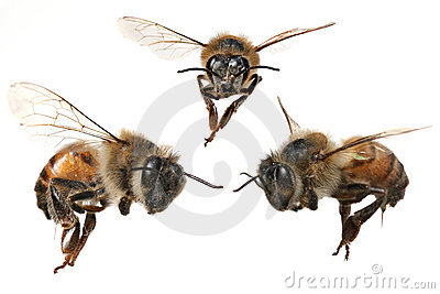 3 Different Angles of a North American Honey Bee