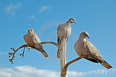 3 doves on separate branches