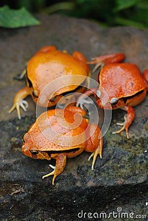 Free 3 Fake Tomato Frog Stock Photo - 3964350