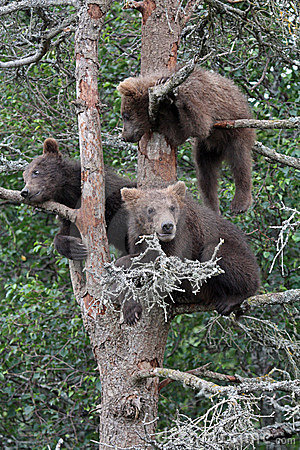 3 Grizzly cubs in Tree #3