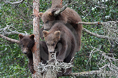 3 Grizzly cubs in Tree #6