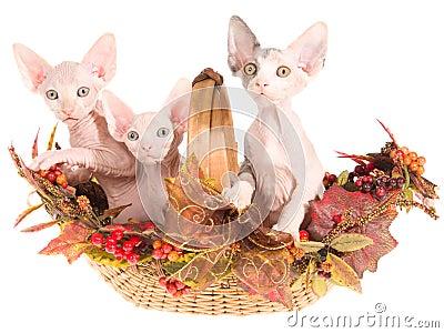 3 Hairless Sphynx kittens in autumn basket