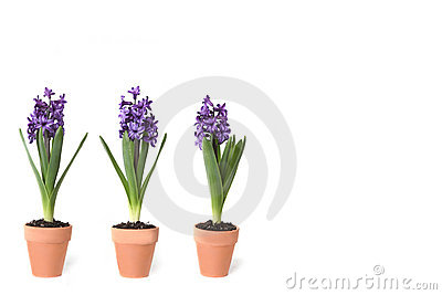 3 Hyacinth Bulbs Sprouting in Clay Pots