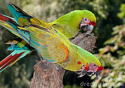 3 Military Macaws