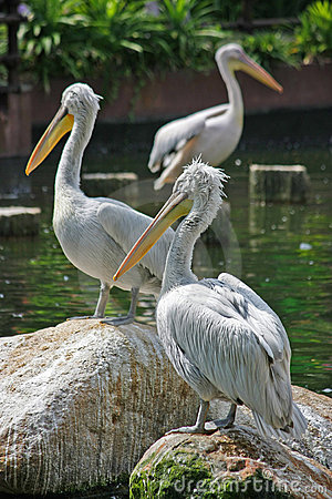 Free 3 Pelicans Resting Royalty Free Stock Image - 8677286