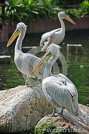 3 Pelicans resting